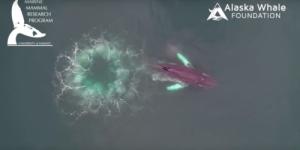 Посмотрите на подводную охоту горбатых китов.