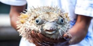 Зачем самой ядовитой рыбе нужен яд?