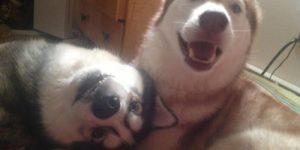 Хаски самые странные из всех собак. Видео