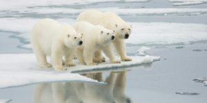 В Якутии создадут заповедник для охраны белых медведей