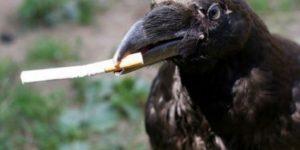 В Голландии ворон научат собирать окурки