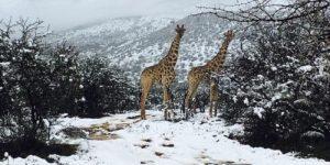 Жирафы попали в снежную бурю