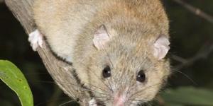 Официально подтверждено вымирание первого вида млекопитающего из-за глобального потепления