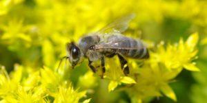 Искусственные пчёлы придут на смену настоящим