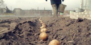 Россельхознадзор разрешил гражданам сажать картошку. Но только для себя