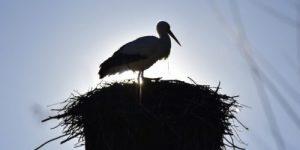 Аист не бросил гнездо на горящем поле (видео)