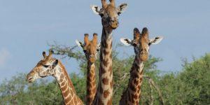 Африка. Центр жирафов в Найроби. Кения. Видео