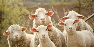 В Турции 80 овец совершили самоубийство на глазах у пастуха