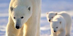 Массовое нашествие белых медведей: на Новой Земле введен режим ЧС