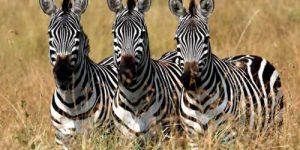 Почему у зебры есть полосы? Новая теория – «умная, сложная и красивая»