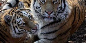 Число амурских тигров в ЕАО может вырасти втрое