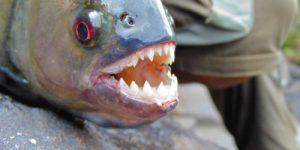 В чем секрет зубов пираньи?