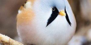 Усатая синица: Как может летать абсолютно круглая птица?