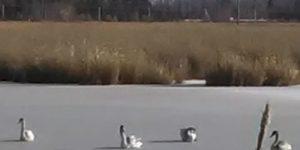 Жители Омска спасли из ледяного плена четырех лебедей
