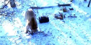 Случай на охоте с медведем