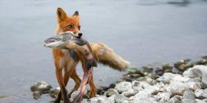 Животные на рыбалке воруют рыбу - видео