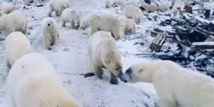 В окруженное медведями чукотское село доставят шумовые патроны