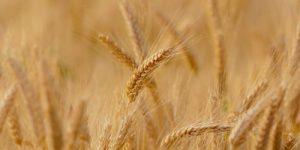 Пшеница ушла в 4-й класс
