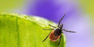 Ученые обнаружили в Сибири клещей-гибридов — чем они опасны