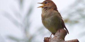 Утреннее пение – «зарядка» для птиц. Видео