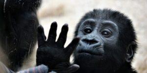 Учёные планируют создать гибрид обезьяны и человека