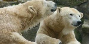 К концу века Земля останется без белых медведей