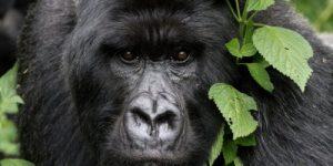 Горным гориллам в Африке угрожает коронавирус