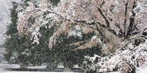 Снегопад в Токио прервал сезон цветения сакуры